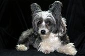 Chinese Crested dog on a black velvet background. Dog Portrait of a Non - Hairless Chinese Crested d poster