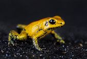 Yellos Golden Drag Frog In Studio With Black Background poster