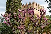 Judas tree in bloom in Alhambra gardens in Granada Spain