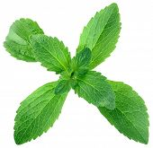 Stevia Rebaudiana Shugar Substitute Isolated on White Background
