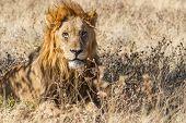Male Lion in Etosha National Park, Namibia