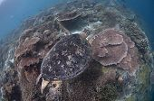 Green Turtle Swimming Over Hard Coral