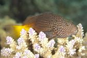 stock photo of hawkfish  - Freckled Hawkfish  - JPG