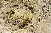 Dune Grass In Sun