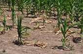 Drought Stricken Corn Field