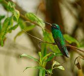Sparkling Violeteared Hummingbird