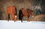 foto of shire horse  - Herd Of Horses in a cold winter pasture - JPG