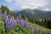 Purple Lupins with a View