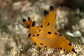 Mabul Thecacera Nudibranch on Sand