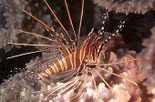 Juvenile Spotfin Lionfish