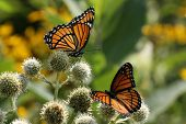 2 Viceroy Butterflies