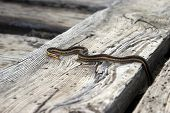 pic of harmless snakes  - A young garter snake sunbathing on wooden planks with tongue stuck out head is face on - JPG