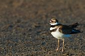 stock photo of killdeer  - Killdeers are medium - JPG
