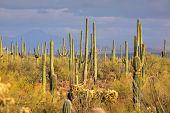 Muitos cacto Saguaro, no deserto de Sonaran