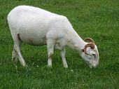 Wilshire Horned Sheep