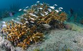 Juvenile and Staghorn Coral
