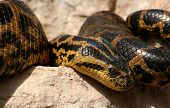 stock photo of anaconda  - Big Anaconda basking in the sun  - JPG