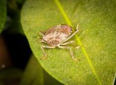 Stinkbug Or Shield Bug On Leaf Of Plant