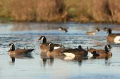 foto of duck-hunting  - a flock of canada geese - JPG