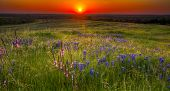 Bluebonnet Field Sunset