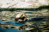 Backstroking Sea Otter