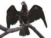 Eagle On A Branch With Wings Spread Isolated Over White