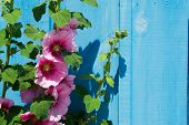 Pink common Hollyhock at wooden blue wall