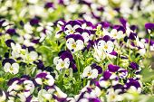 Beautiful Pansy Flowers In Garden