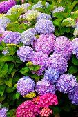 Multi Colored Hydrangea Bush With Blooms
