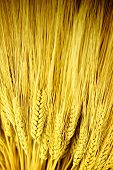 Stalks Of Golden Wheat
