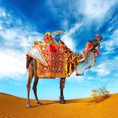 Camel in desert. Camel fair festival in India, Rajasthan, Pushkar. Adventure travel landscape background.