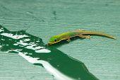 Tropical Island Gecko
