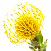 Yellow Protea Background