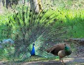 stock photo of peahen  - Peacock courting ritual - JPG