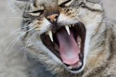 A domestic cat yawning.