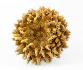 Giant Coulter Pine (pinus Coulteri) Cone, Base View