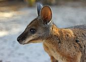 image of tammar wallaby  - Portrait of Tammar Wallaby - JPG