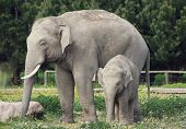 Asian Elephants Family (father And Baby)