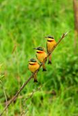 Tree Bee Eaters On The Branch