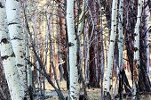 A Forest of Aspen Trees