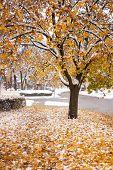 Snowy Fall Tree
