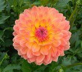 Gabrielle Maria Dalia Flower