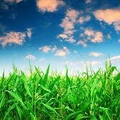 Green corn field under colorful sky.