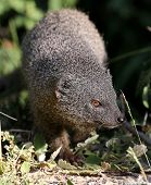 Grey Mongoose