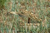 foto of timber rattlesnake  - Shot of a timber rattlesnake taken in New Mexico - JPG