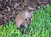 stock photo of armadillo  - Armadillo playing in the grass near Emerald Lake in Florida - JPG