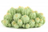 picture of peyote  - Plant bush isolated - JPG