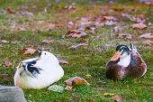 Ducks staring to the camera