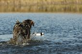 Hunting dog picking up a duck