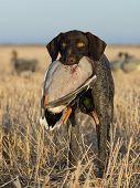 stock photo of pintail  - A hunting dog with a Drake Mallard - JPG